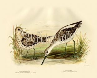 Sandpiper, Great (Tringa Crassirotris)